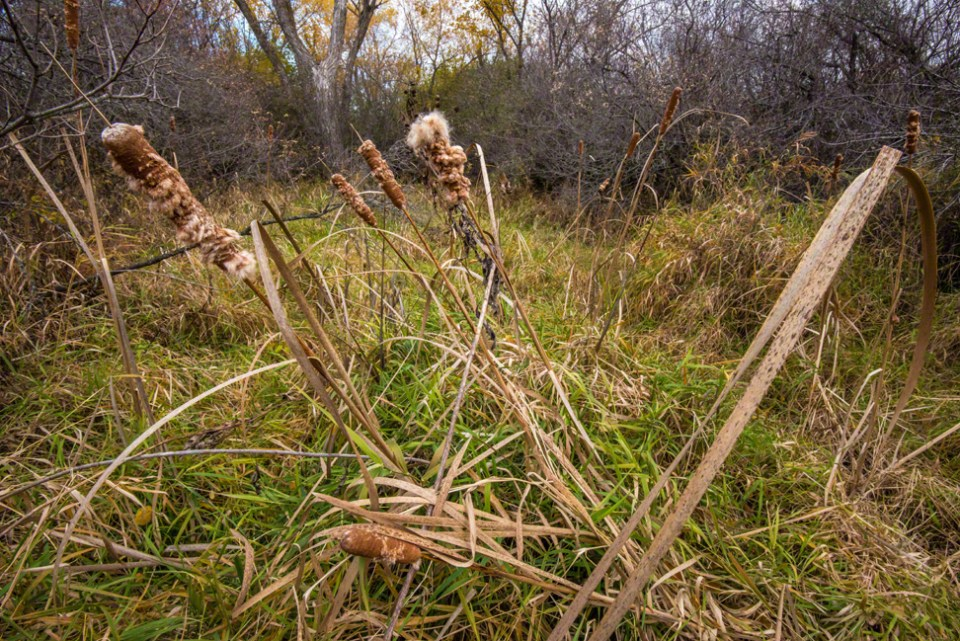 Cattails Leaning