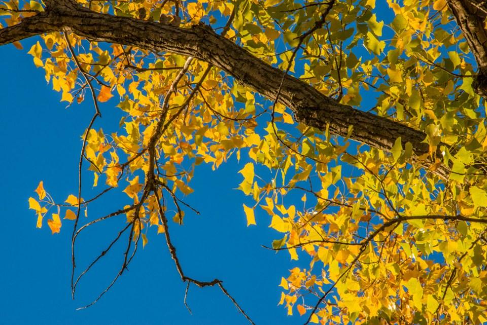 Cottonwood Leaves Gone Gold Against an October Sky 1