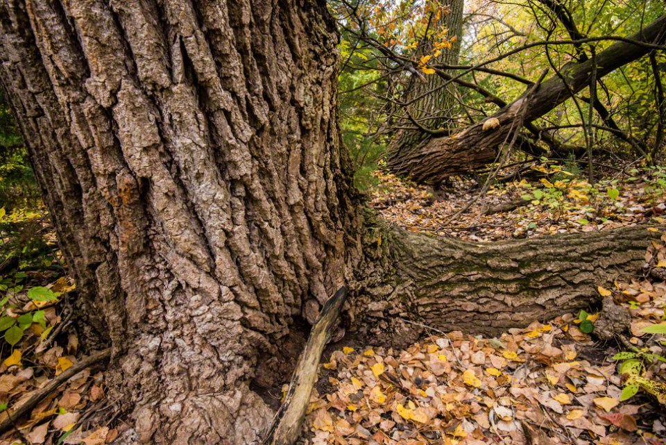 Cottonwood Echoes in the Little Draw