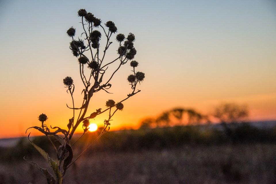 Dawn Through Dried Sunflower Heads