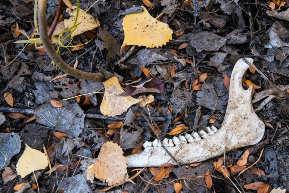 Deer Jaw with Cottonwood Leaves