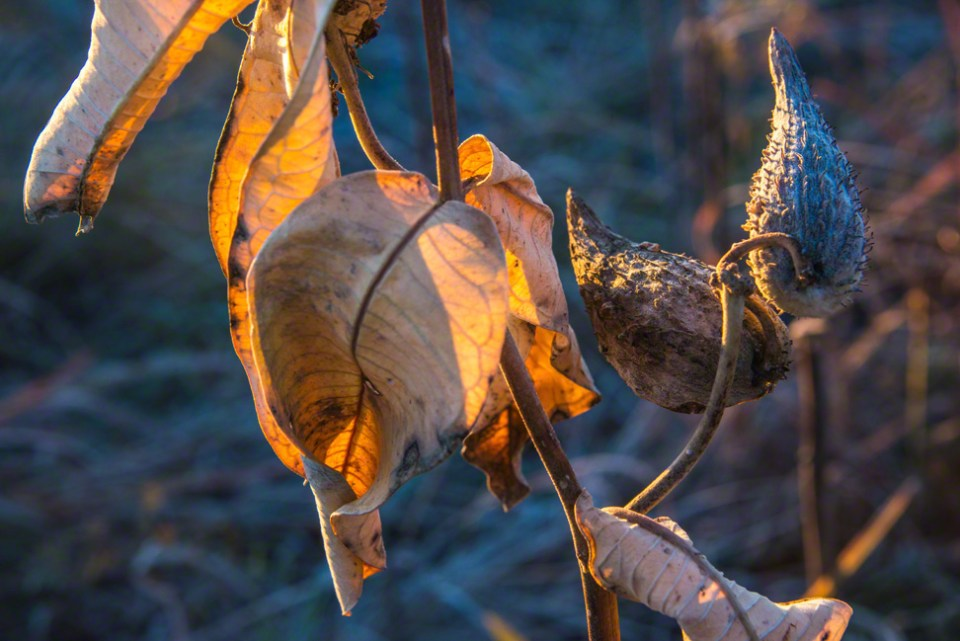 First Light on Milkweed Leaves and Husks