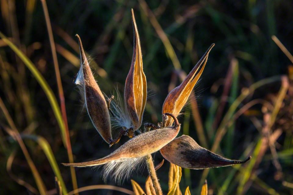 Five Slender Milkweed Husks