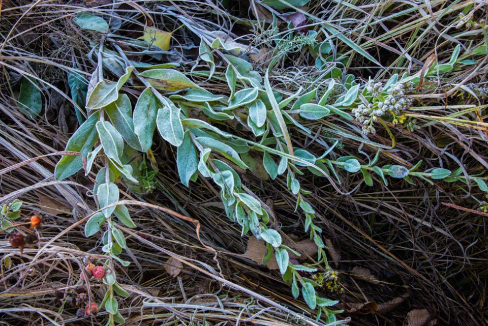 Frosted Sage 2