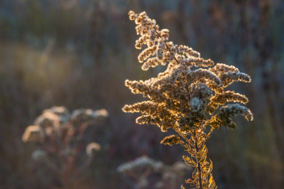 Fuzzy Top Goldenrod Seed Heads Rimlit
