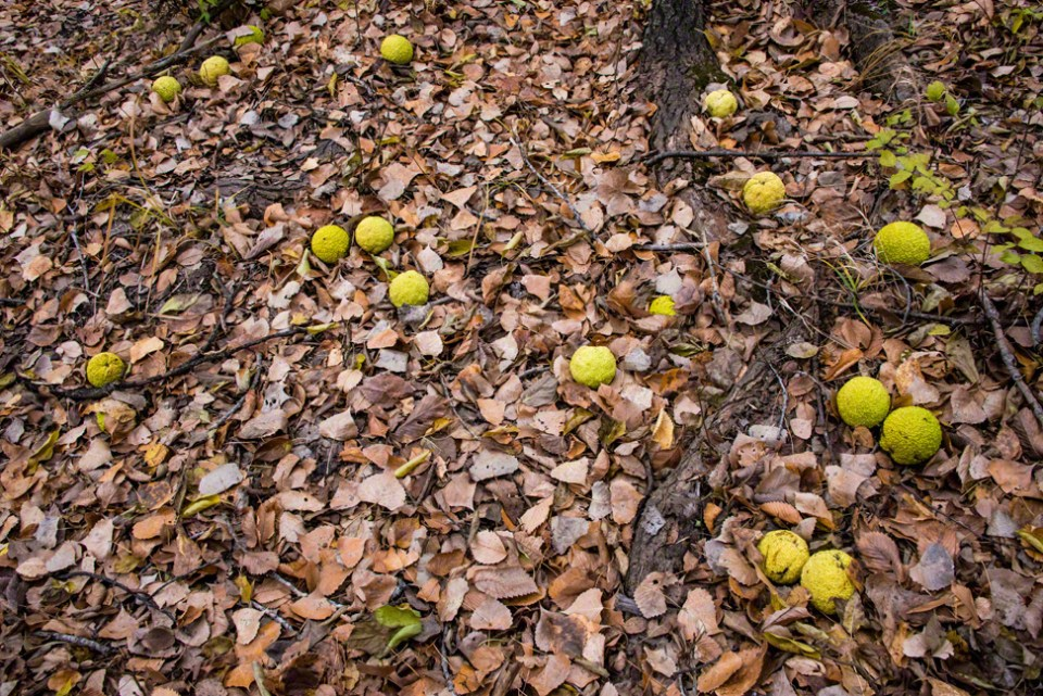 Hedge Apples on the Ground WS
