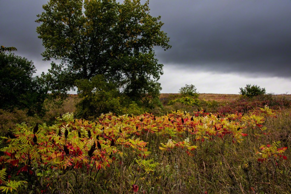 Little Stand of Sumac at the Head of the Big South Draw Under a Threatening Sky