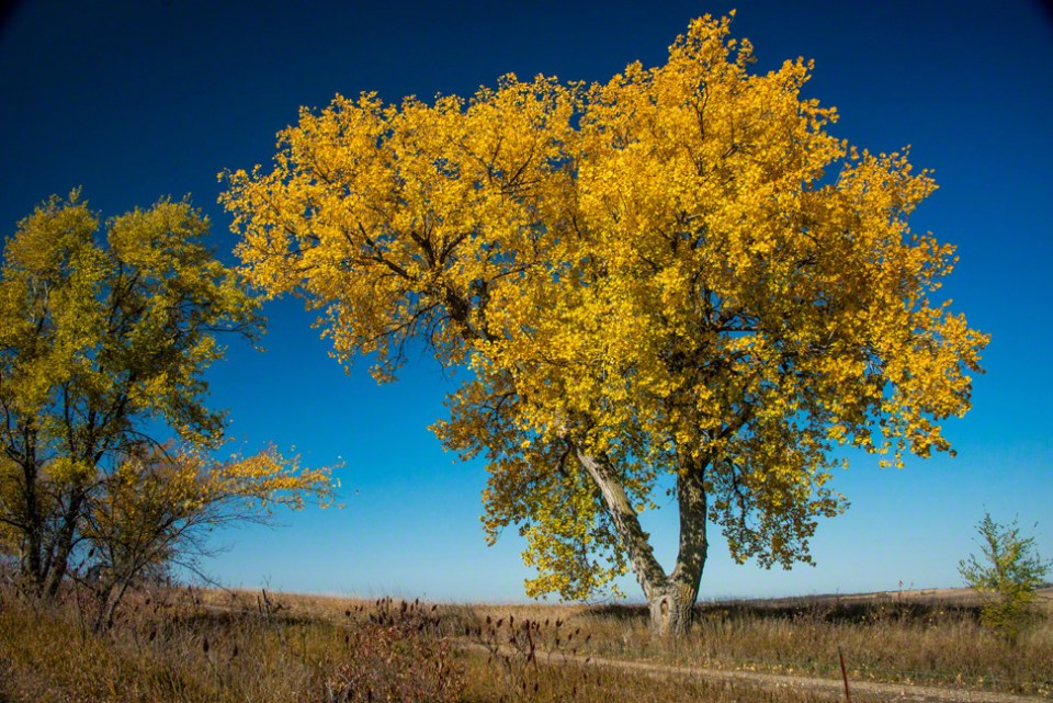 Magnificent Yellowed Cottonwood Near the West Gate