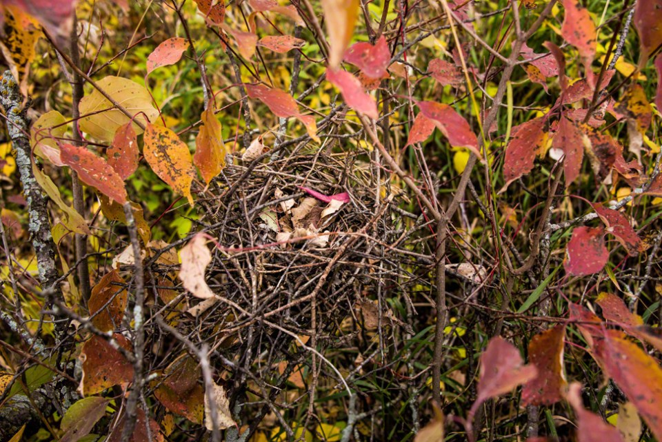 Old Nest with Fallen Leaves