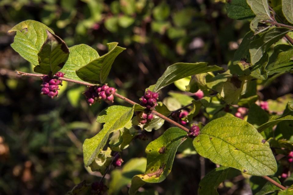 Red Berries Buck Brush Branch
