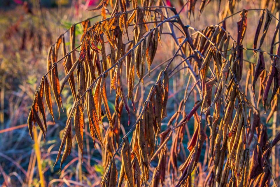 Shriveled Sumac Leaves