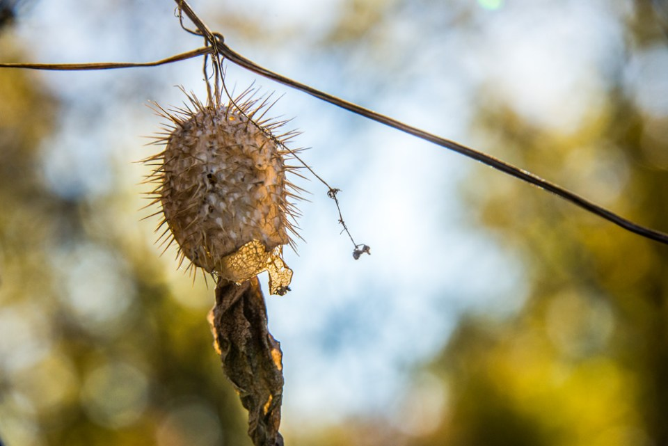 Spiky Seed Pod - Now Broken Open