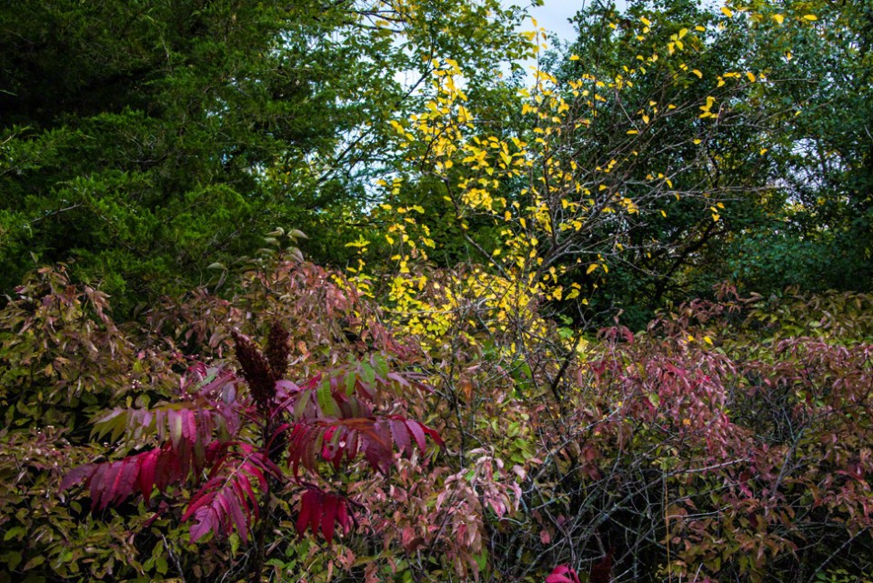 Sumac, Dogwood and Little Yellow Leaves