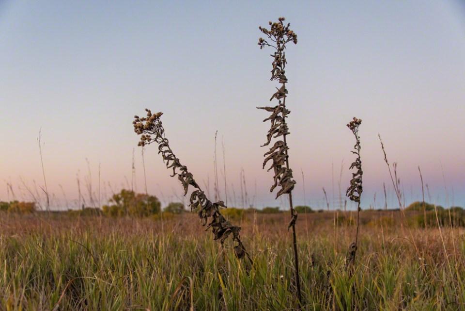 Three Goldenrod Stalks Against a Pre-dawn Sky
