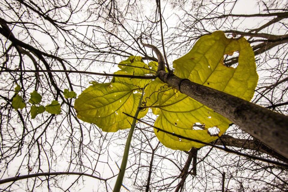 Vine Leaves From Below