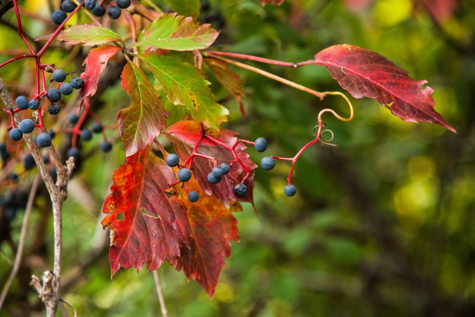 Virginia Creeper Vine and Berries