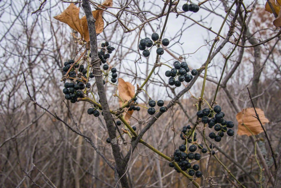 Buckthorn Berries Along the East Fence Line