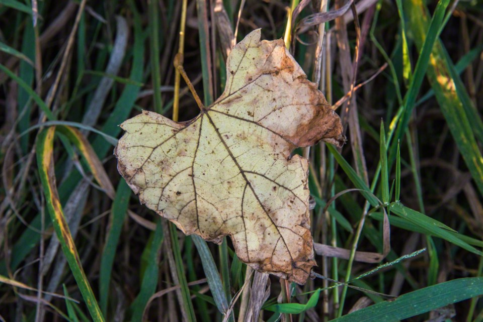 Yellowed Leaf Crumpled at the Edges
