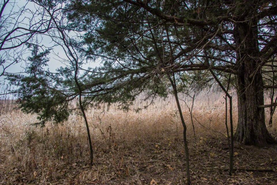 At the Edge of the Big Cedar Grove