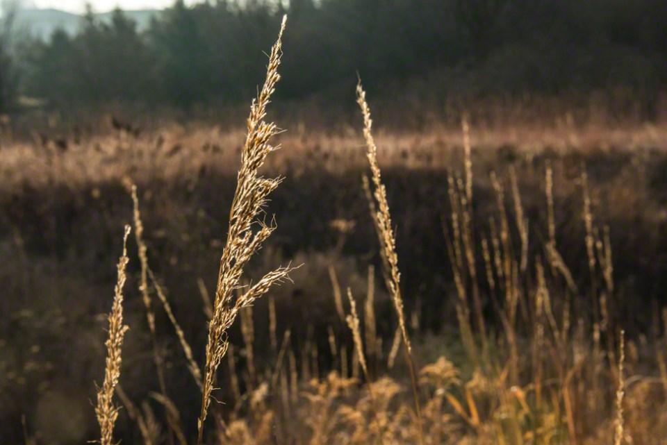 Grass Seed Head Backlit