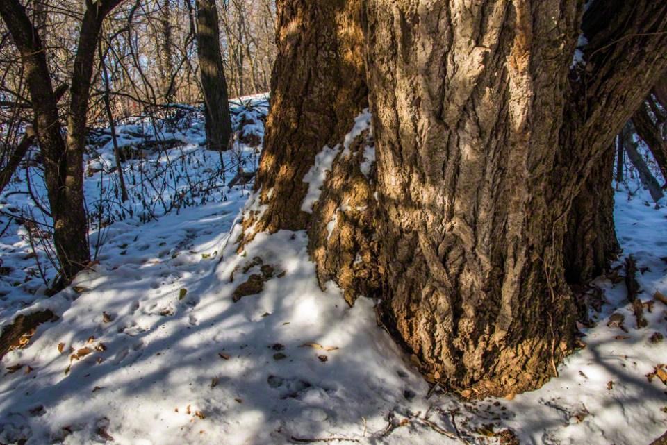 The Base of the Big Boy Cottonwood