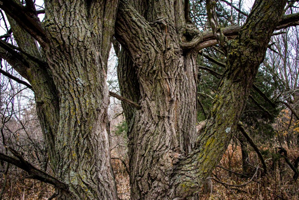 Twin Trunk Trees Higher Up