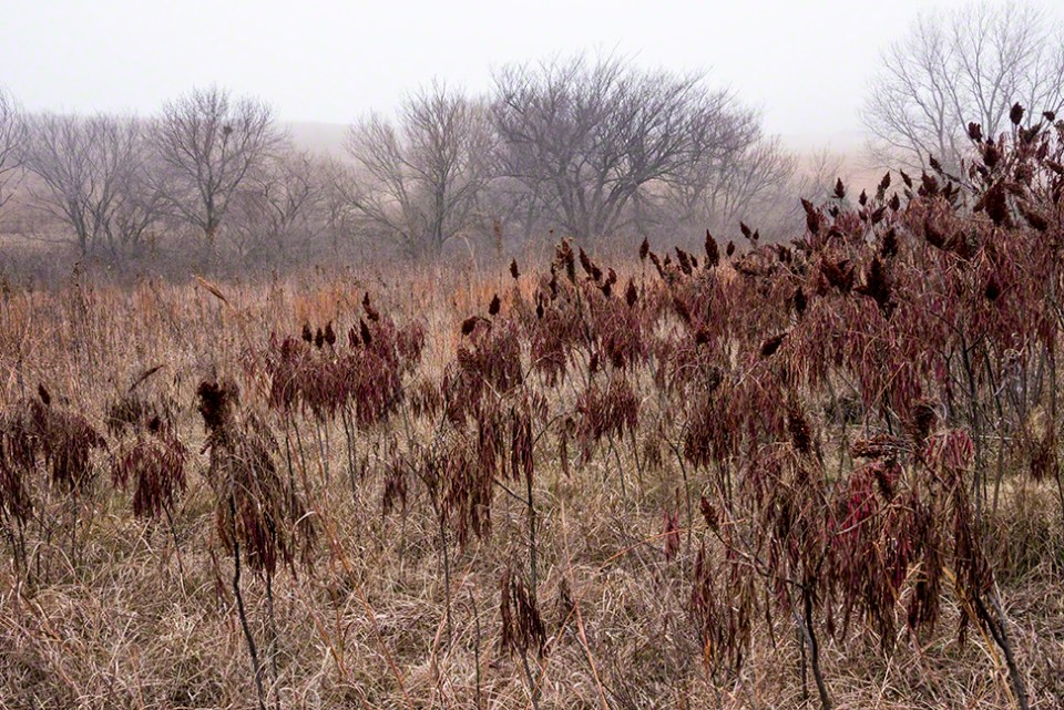 Foggy Morning 6 - Sumac Stand