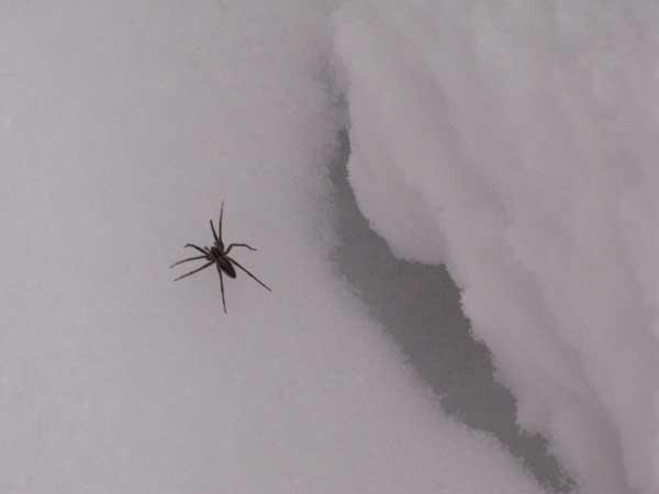 spider in snow, spindel