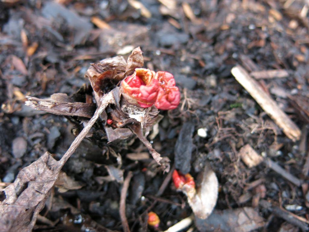 rhubarb, rabarber