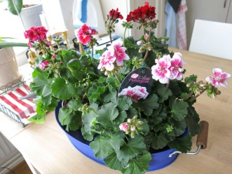 Three pelargonias that I bought