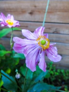 anemone_3
