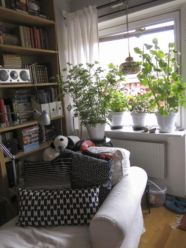 livingroom, window. windowsill, pelargonias