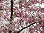 cherryblossoms_12