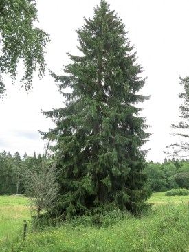 Huge fir by the side of the meadow along the path.