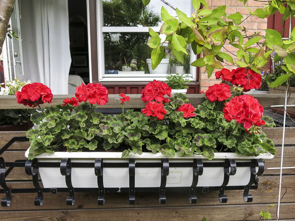 red pelargonias
