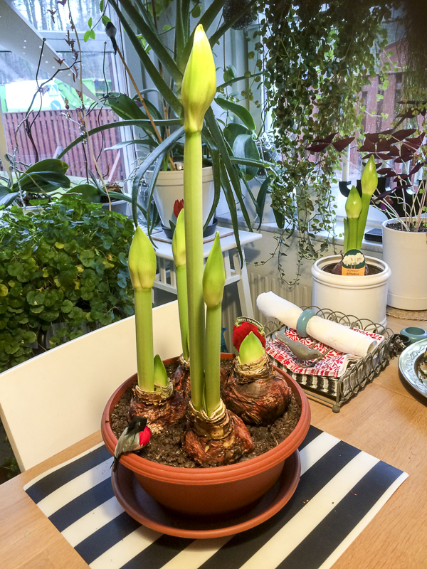 plants, amaryllis, kitchen