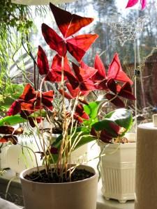 oxalis, plants