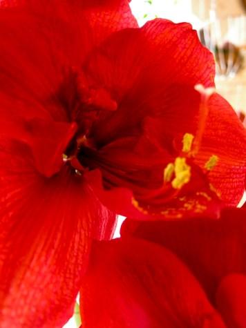 amaryllis_red_12