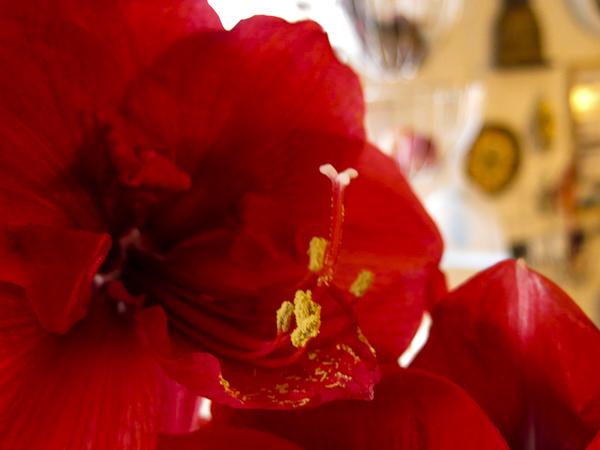 amaryllis_red_14