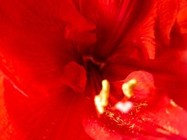 amaryllis_red_22