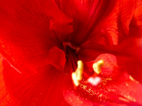 amaryllis_red_22