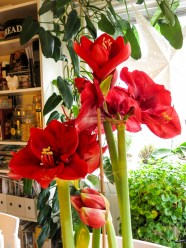 amaryllis_red_5