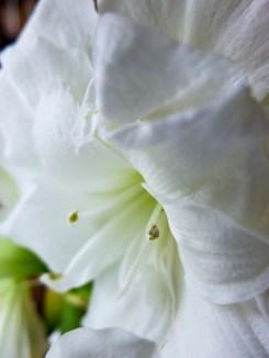 amaryllis_white_14