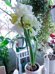 amaryllis_white_4