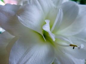 amaryllis_white_6