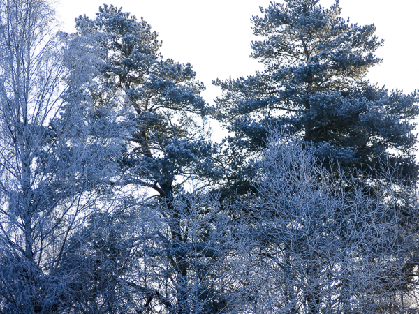 wintertrees, snow, frost