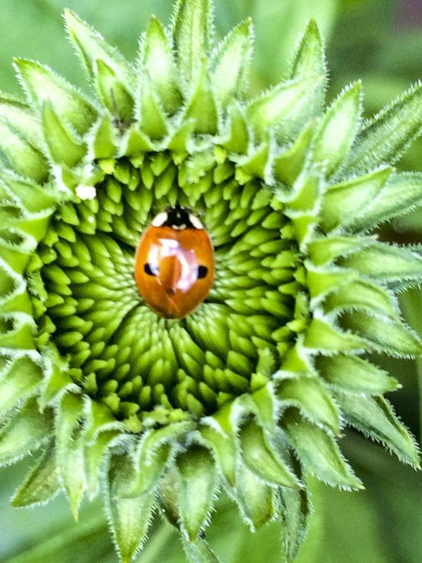 ladybug, echinacea, garden, greenery
