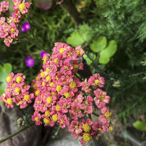 yarrow, garden, greenery