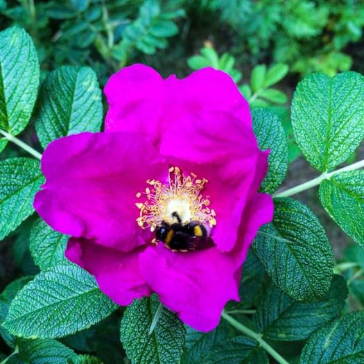bumblebee, rose, garden, greenery