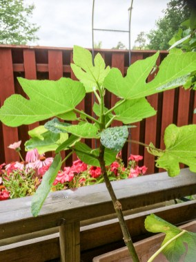 figtree_14aug2016_1